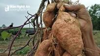 Nhiều doanh nghiệp đặt hàng nông dân Nghệ An trồng khoai lang
