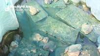 Nghệ An: Nuôi ếch cùng cá, cho ăn tỏi và uống nước cỏ nồi thu cả trăm triệu