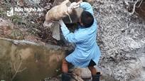 Phát hiện hàng chục bao tải lợn chết vứt dưới cống gần đầu nguồn sông Lam