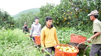Người xây dựng thành công thương hiệu cam Thiên Sơn trên đất lúa