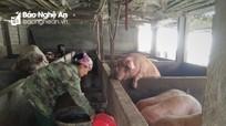 Nghệ An: Một hộ dân bán được lợn nái giá kỷ lục 24 triệu đồng