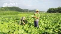 Nghệ An: Cải ngồng đặc sản trồng đất bãi được mùa, đắt giá
