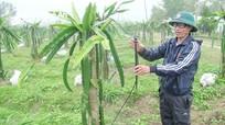Nông dân Nghệ An 'cấm' thanh long ra quả để 'né' mùa dịch Covid-19