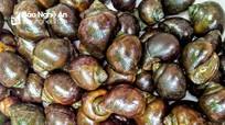 Trang trại ốc bươu đen nổi tiếng xứ Nghệ