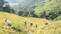 Mùa lúa rẫy nơi vùng cao xứ Nghệ