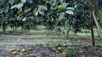 Cam Con Cuông rụng đầy vườn, giá rớt thảm hại
