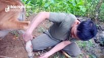 Con Cuông: Hàng chục con trâu, bò bị lở mồm, long móng