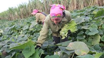 Bù rợ trên đất bãi: 'Ăn' cả ngọn, hoa, quả