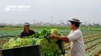 Người trồng rau buồn bã thu hoạch rau sau Tết