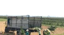 Nông dân Nghệ An trồng ngô sinh khối thu hàng trăm triệu mỗi ha