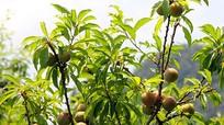 Hỗ trợ phân bón để cải tạo 16 ha mận tam hoa ở Kỳ Sơn