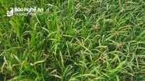 Quỳ Hợp: Hơn 190 ha lúa xuân nhiễm bệnh
