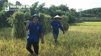 Thanh niên đội nắng giúp dân gặt lúa