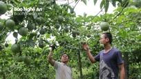Nông dân vùng trồng chanh leo lớn nhất Nghệ An gặp khó