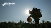 Nông dân Nghệ An 'cõng nắng' thu hoạch dứa