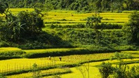 Chân thực hình ảnh vụ gặt lúa chín muộn nơi miền Tây Nghệ An