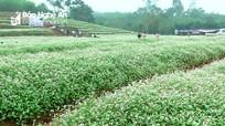 Nghệ An: Tiếp tục trồng đồng hoa tam giác mạch để thu hút khách du lịch