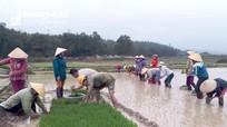 Phụ nữ vùng biên Nghệ An dầm mình trong mưa rét cấy lúa giúp gia đình neo đơn
