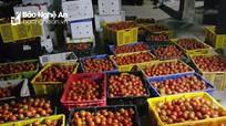 Siêu thị vào cuộc 'giải cứu' cà chua ở Quỳnh Lưu