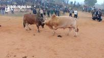 Hấp dẫn, gay cấn hội chọi trâu, bò ở miền Tây Nghệ An