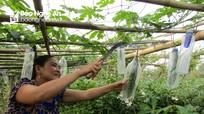 Độc đáo: Nông dân Nghệ An bọc mướp đắng trong chai nhựa