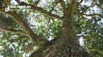 Dân bản lập hương ước bảo vệ cây xoài trên 100 năm tuổi