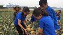 """Tuổi trẻ Thái Hòa """"giải cứu"""" dứa giúp bà con nông dân"""