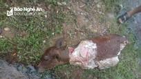 Một con bê bị giết, trộm thịt trong đêm