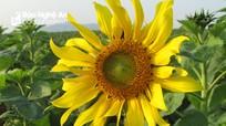 Những bông hoa đầu tiên ở cánh đồng hoa hướng dương Nghệ An đã bung nở