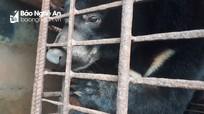 Chấm dứt việc nuôi nhốt gấu bất hợp pháp