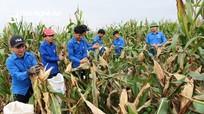 Thanh niên chung tay thu hoạch ngô giúp gia đình tân binh