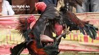 Những pha chọi gà ngoạn mục trong lễ hội ở Yên Thành