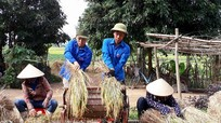 Thanh niên chung tay gặt lúa giúp gia đình có hoàn cảnh khó khăn