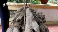 Nông dân Nghệ An đào được củ khoai nặng 77 kg
