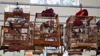 Sôi nổi hội thi tiếng hót chim chào mào tại Lễ hội đền Cờn