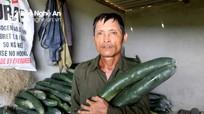 Nghệ An: Nắng như đổ lửa, bí xanh giá 2.000 đồng/kg vẫn không bán nổi