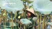 Nông dân Nghệ An lội hồ sâu ngập bụng thu hái gương sen
