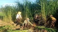 Nhà nông Nghệ An chung tay cấy lúa, cắt cỏ giúp đỡ gia đình thực hiện cách ly