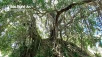 Cây sanh hàng trăm năm tuổi ở Thanh Chương