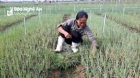 Hàng trăm ha rau ở Quỳnh Lưu hư hỏng, chậm phát triển