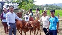 Trao bê giống cho các hộ nghèo người Đan Lai ở Con Cuông