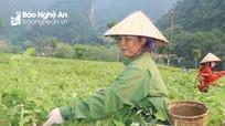 Cà pháo rớt giá kỷ lục, nông dân Nghệ An lo lắng thất thu
