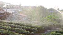 Cơn mưa nhân tạo cứu hàng trăm ha chè ở Nghệ An