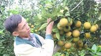 Những vấn đề 'nóng' trong phát triển cây cam ở Nghệ An
