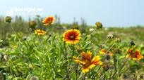 Rực rỡ những loài hoa nở trên cát đặc trưng Cửa Lò