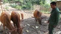 Kinh nghiệm dân gian phòng, chữa bệnh cho trâu, bò của dân bản Kỳ Sơn