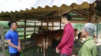 Chàng trai mồ côi người Khơ Mú khởi nghiệp, làm giàu từ 3 con bò giống