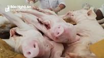 6 tạ thịt lợn con không kiểm dịch 'đi' trên xe khách