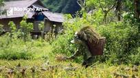 Người dân miền núi Nghệ An gồng mình thu hoạch lúa trong nắng như đổ lửa