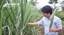 Công ty Mía đường Sông Con: Tập trung phòng trừ sâu bệnh mía